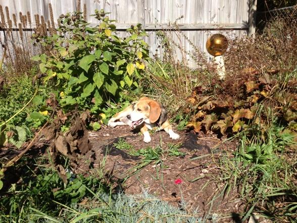 A fall beagle