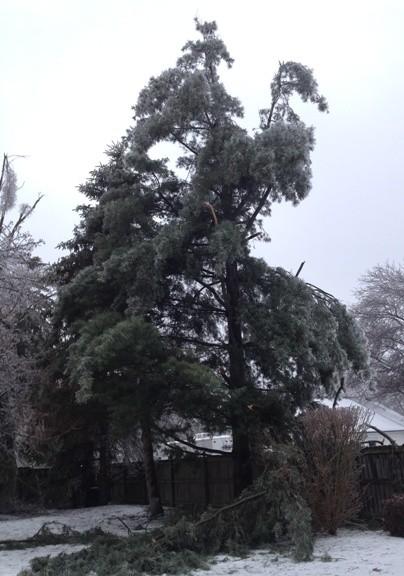 Poor pine tree